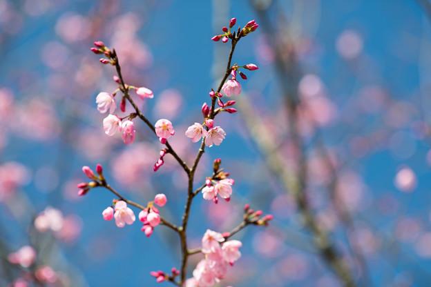 45花菜ガーデン【桜:雅(ミヤビ)】2