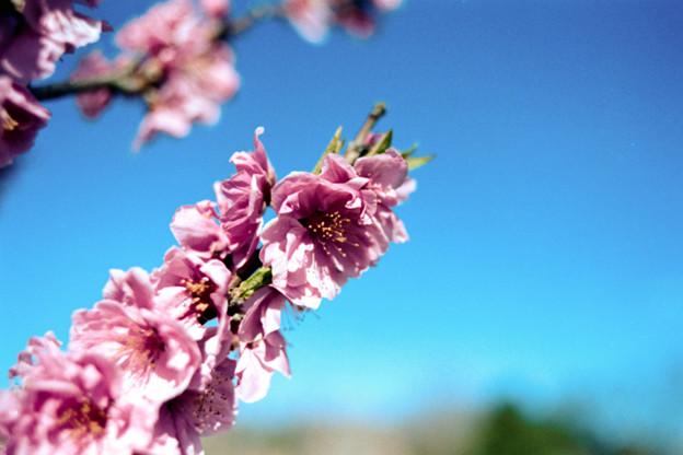 23花菜ガーデン【ハナモモ:矢口】10銀塩NLP