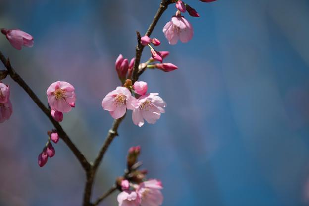 43花菜ガーデン【桜:雅(ミヤビ)】0