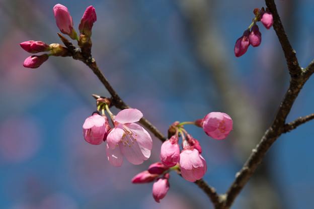 47花菜ガーデン【桜:雅(ミヤビ)】4
