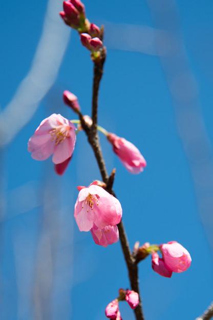 48花菜ガーデン【桜:雅(ミヤビ)】5