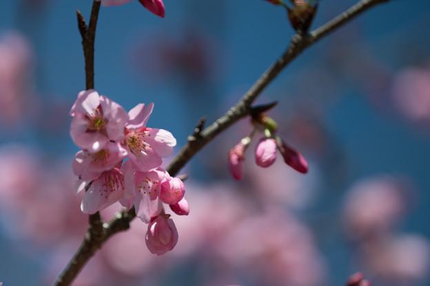 46花菜ガーデン【桜:雅(ミヤビ)】3