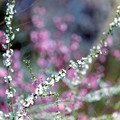 55花菜ガーデン【ユキヤナギ】7銀塩