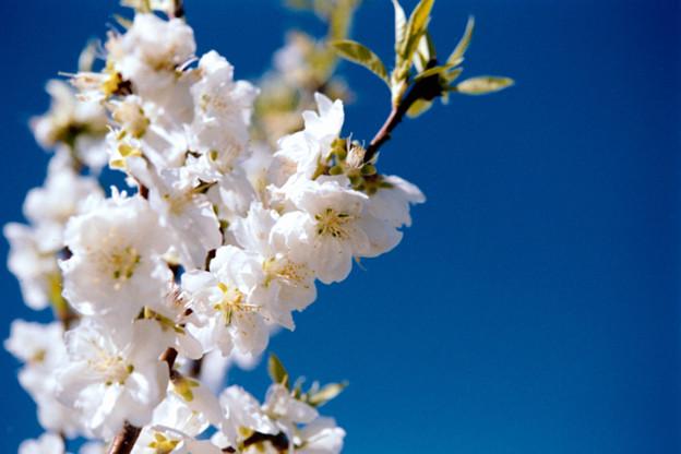 30花菜ガーデン【ハナモモ:寒白】6銀塩NLP