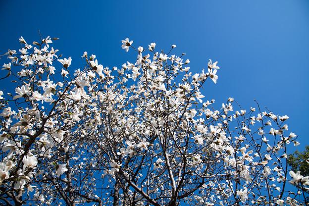 58花菜ガーデン【コブシ】3