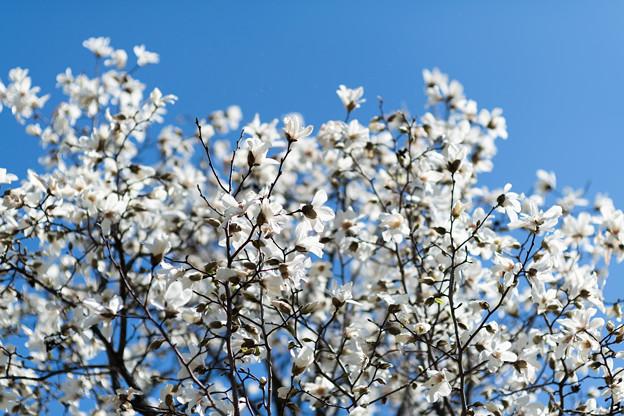 60花菜ガーデン【コブシ】5
