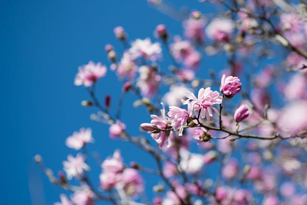 62花菜ガーデン【シデコブシ】2