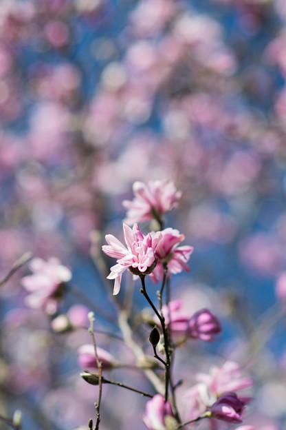 64花菜ガーデン【シデコブシ】4
