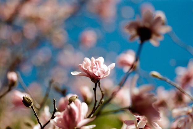 66花菜ガーデン【シデコブシ】6銀塩NLP