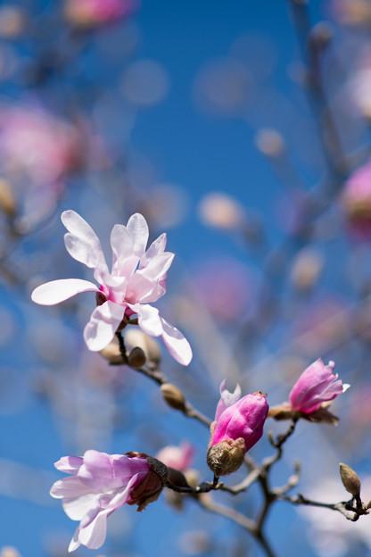 73花菜ガーデン【タムシバ:アップライト】2