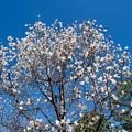 57花菜ガーデン【コブシ】2