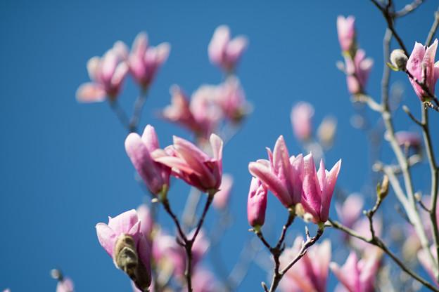 68花菜ガーデン【マグノリア:レッドラッキー】1