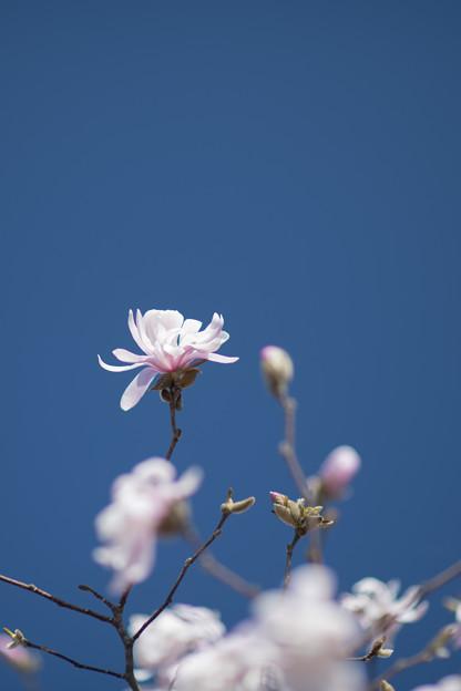 77花菜ガーデン【シデコブシ:キングローズ】2
