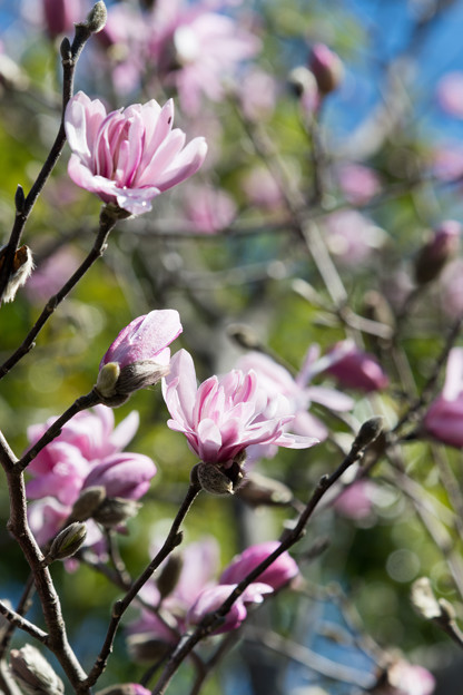 65花菜ガーデン【シデコブシ】5