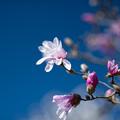 72花菜ガーデン【タムシバ:アップライト】1