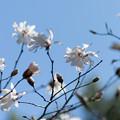74花菜ガーデン【マグノリア:レープネリ_バレリーナ】1