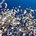 59花菜ガーデン【コブシ】4銀塩NLP