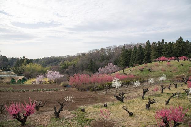 02花桃の丘【ハナモモの眺め】2