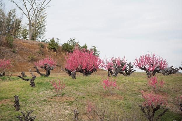 05花桃の丘【ハナモモの眺め】5