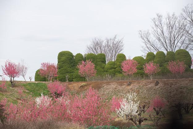 06花桃の丘【ハナモモの眺め】6