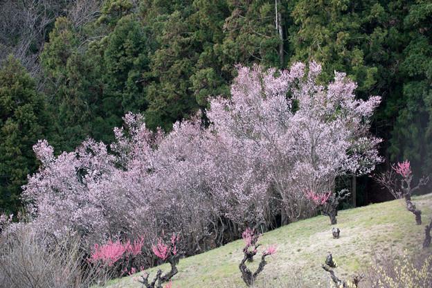 09花桃の丘【七分咲きの桜】2