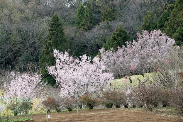08花桃の丘【七分咲きの桜】1