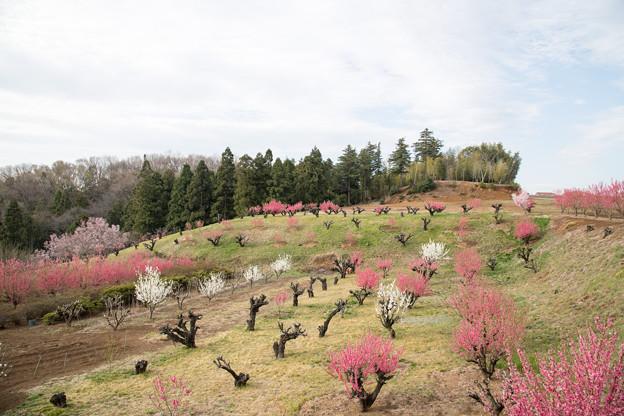 01花桃の丘【ハナモモの眺め】1