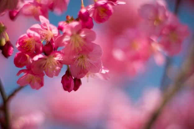 10本牧山頂公園【横浜緋桜】4