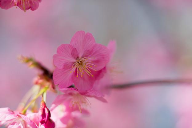 13本牧山頂公園【横浜緋桜】7