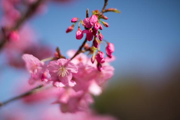 11本牧山頂公園【横浜緋桜】5