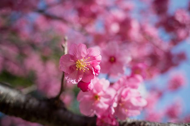 12本牧山頂公園【横浜緋桜】6