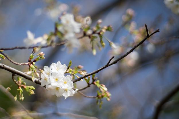 17本牧山頂公園【大島桜】3