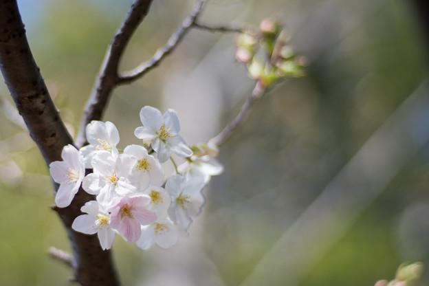 21本牧山頂公園【大島桜】7