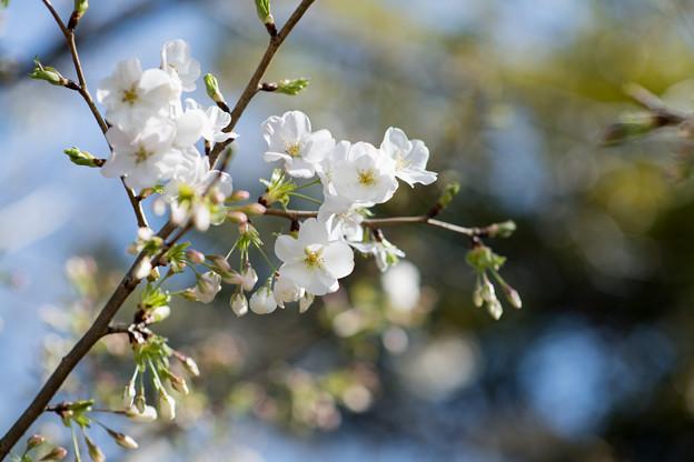 16本牧山頂公園【大島桜】2
