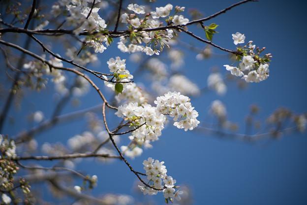 15本牧山頂公園【大島桜】1