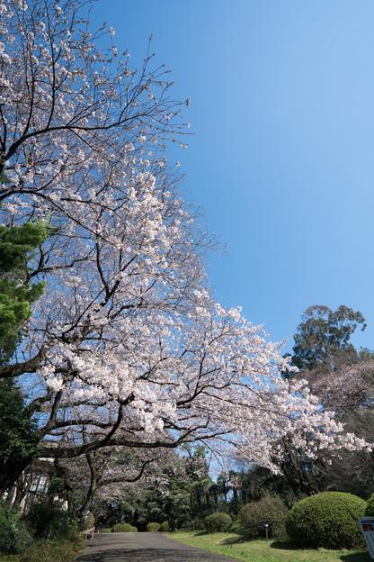 01小石川植物園【桜林の眺め】1