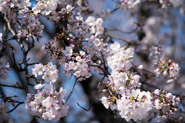 08小石川植物園【桜:染井吉野】2