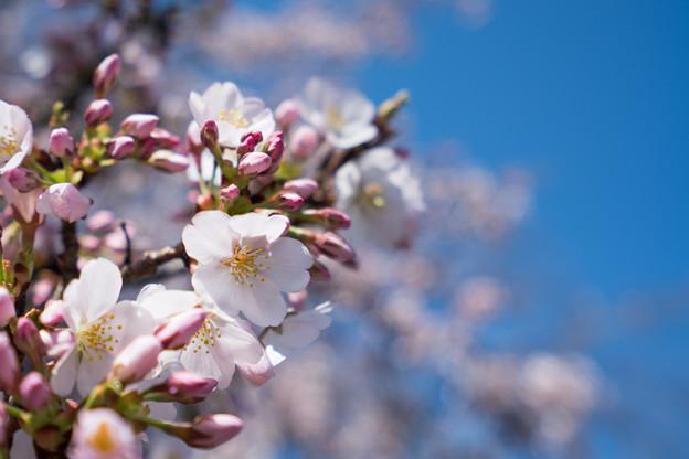 09小石川植物園【桜:染井吉野】3