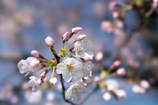 11小石川植物園【桜:染井吉野】5