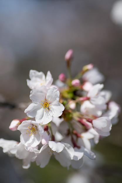 12小石川植物園【桜:染井吉野】6