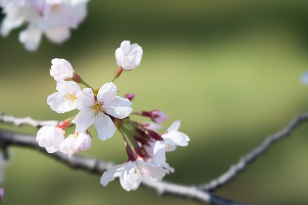 13小石川植物園【桜:染井吉野】7