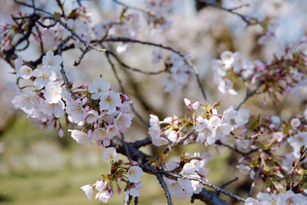 14小石川植物園【桜:染井吉野】1銀塩NLP
