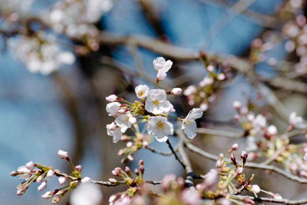 15小石川植物園【桜:染井吉野】2銀塩NLP
