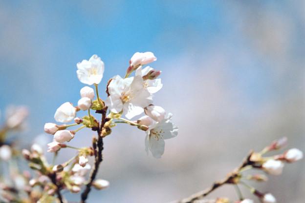16小石川植物園【桜:染井吉野】3銀塩NLP