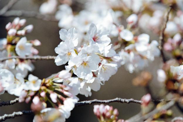 17小石川植物園【桜:染井吉野】4銀塩NLP