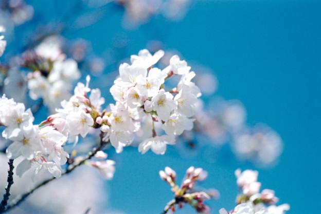 18小石川植物園【桜:染井吉野】5銀塩NLP