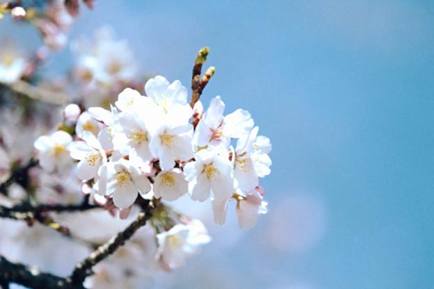 19小石川植物園【桜:染井吉野】6銀塩NLP