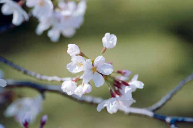 21小石川植物園【桜:染井吉野】8銀塩NLP