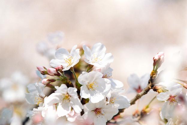 20小石川植物園【桜:染井吉野】7銀塩NLP