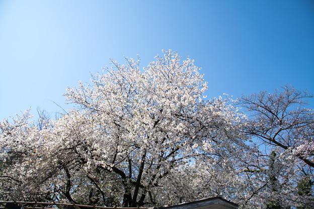 23小石川植物園【桜:大島桜】2